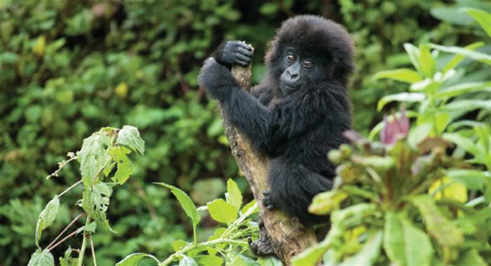 4 Days Bwindi & Mgahinga Gorillas