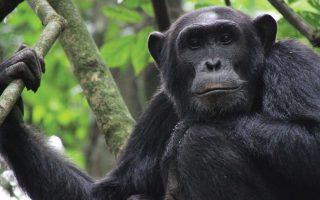 4 Days Chimpanzees & Wildlife Safari