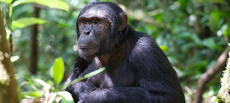 4 Days Chimpanzees & Wildlife Safari