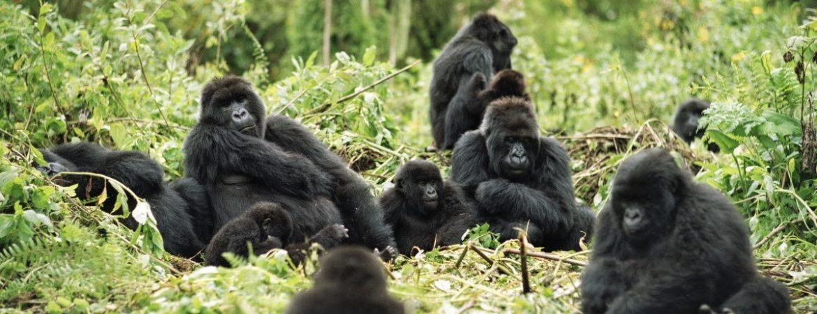 gorilla groups
