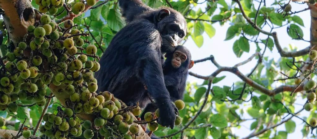 Chimpanzee Habituation