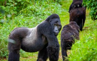 Gorillas in Ruhija Sector of Bwindi Forest National Park