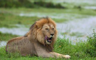 Lion in Tarangire National Park