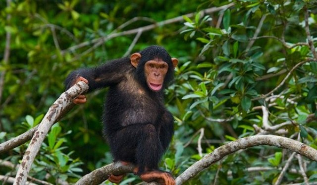 Chimpanzee Trekking in Kyambura Game Reserve