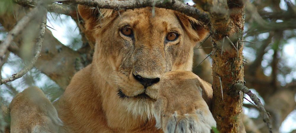 A piece of Uganda Safaris