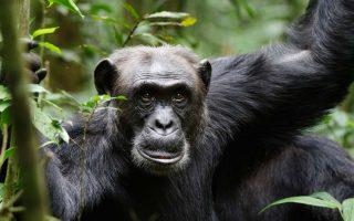 5 Days Chimpanzee Trekking and Gorilla Habituation Experience