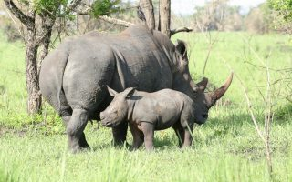2 Day Ziwa Rhino Trekking Safari