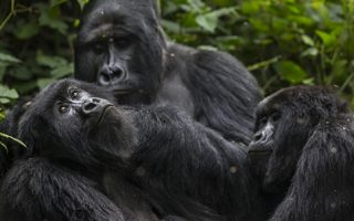2 Days Virunga Gorilla Tour from Kigali