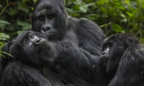 2 Days Virunga Gorilla Tour from Kigali