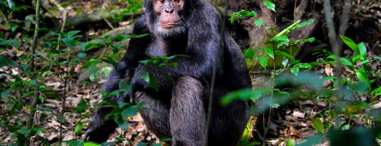 6 Days Uganda Primates Trekking Safari