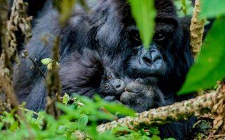 8 Days Uganda Rwanda Primates Safari