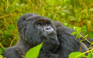 5 Days Rwanda Gorilla & Golden Monkey Trekking Tour