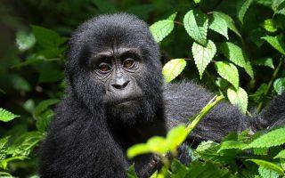 Uganda Budget Gorilla Trekking Safari from Kigali