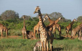 5 Days Amboseli & Tsavo Wildlife Safari