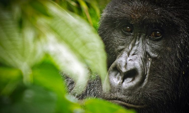 5 Days Congo Great Ape Safari