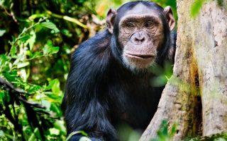 5 Days Kibale Chimpanzee & Queen Elizabeth Wildlife Safari