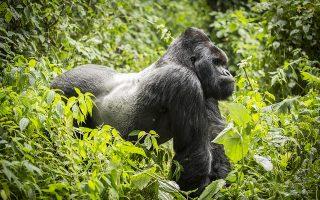 7 Days Congo Rwanda Uganda Gorilla Trekking safari